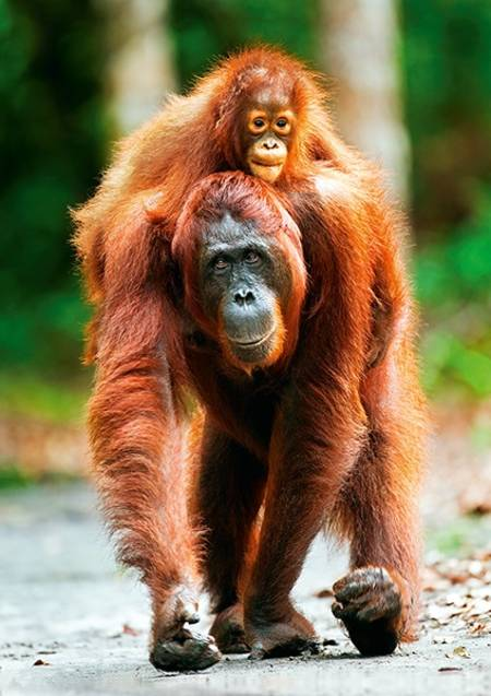 Jigsaw Puzzle - Mother Care - Orangutan, Indonesia (10514)