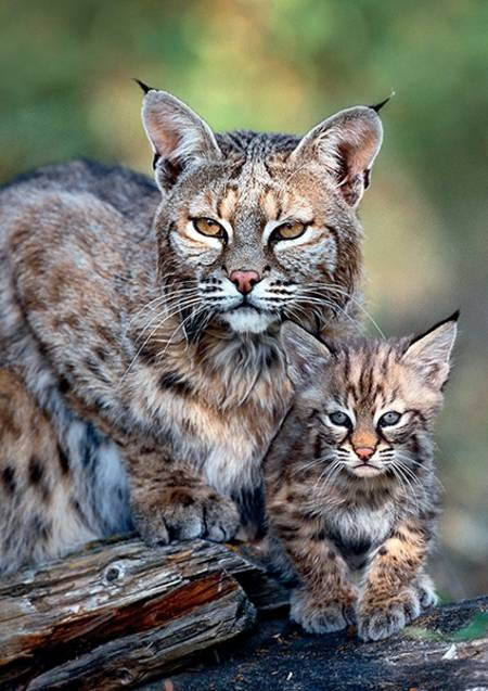 Jigsaw Puzzle - Mother Care - Bobcat, USA (10513)