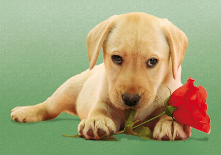 Jigsaw Puzzle - Dog With Rose (#30392) - 500 Pieces Clementoni