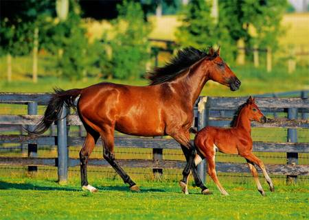 Jigsaw Puzzle - Foal`s First Steps (37095)