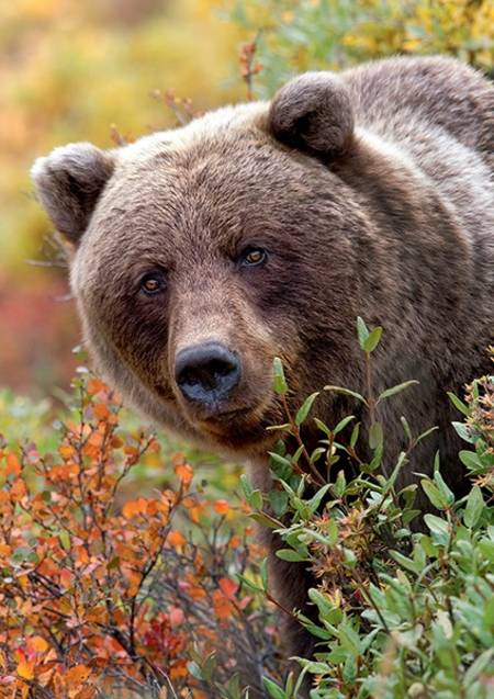 Jigsaw Puzzle - Wild Royals - Grizzly Bear, Alaska USA (10518)