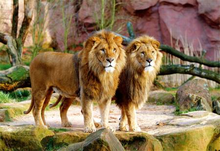 Jigsaw Puzzle - Lions (26088)