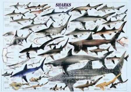 Jigsaw Puzzle - Sharks (#2804N00026) - 1000 Pieces Ricordi