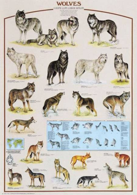 Jigsaw Puzzle - Wolves (#2804N00030) - 1000 Pieces Ricordi